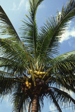 Manila_dwarf_coconut_palm
